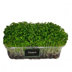 Микрозелень Салат в боксе